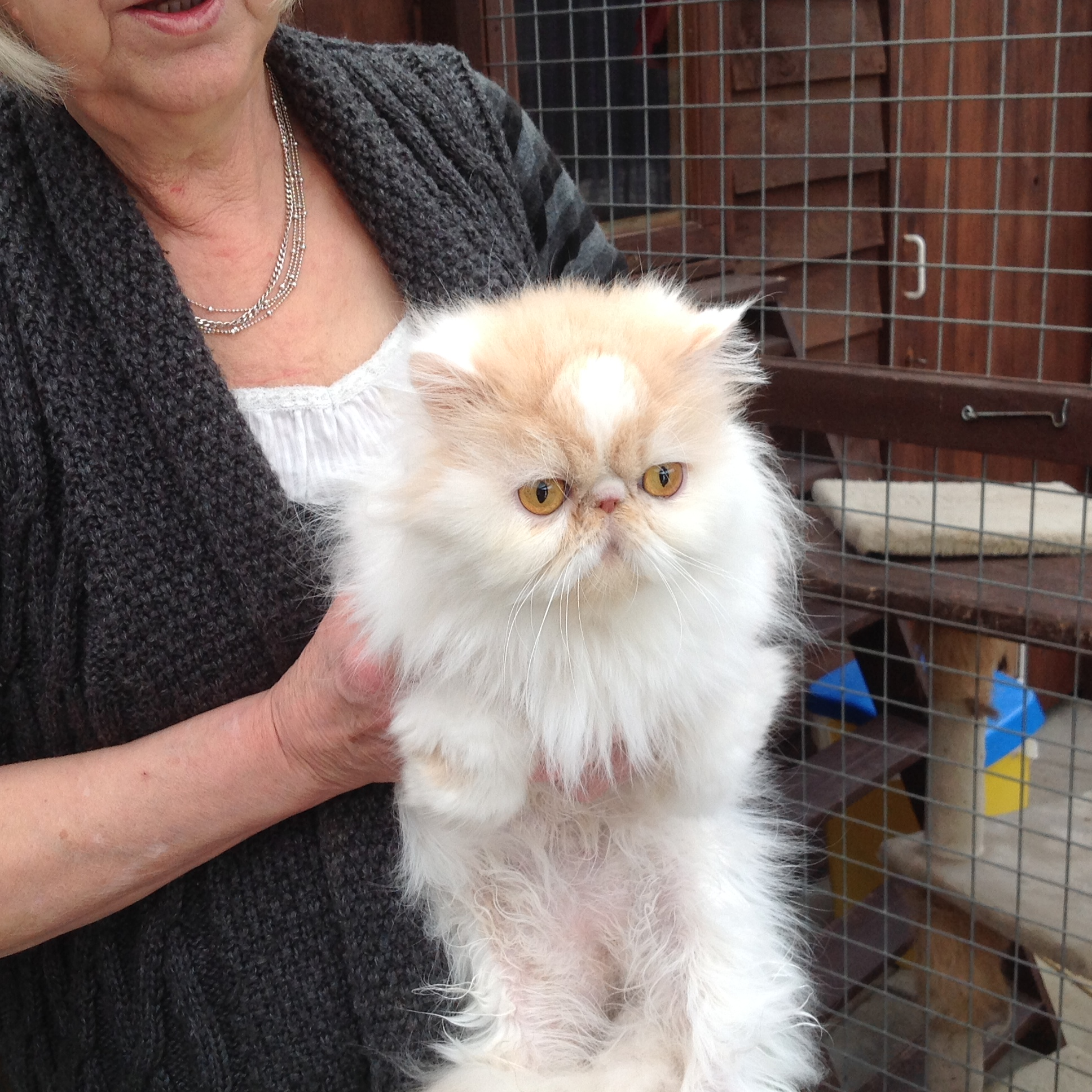 Persian cat rescue bristol